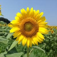 Sun Flower Feast Osaki - Miyagi