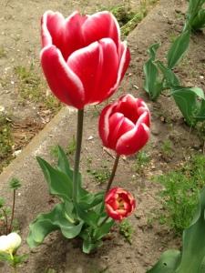 red tulip v