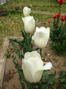 white tulip v