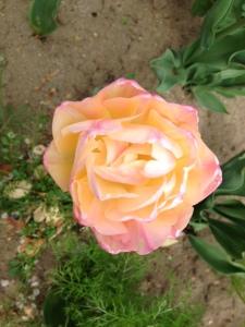 yellow pink tulips