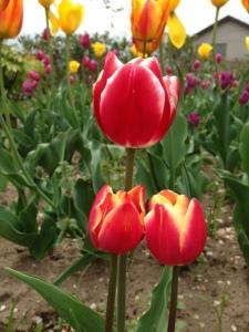 orange yellow tulips v
